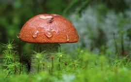 Um cogumelo, depois da chuva, gotículas de água, grama