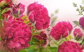 Peonías rosas, flores, pétalos, gotitas de agua.