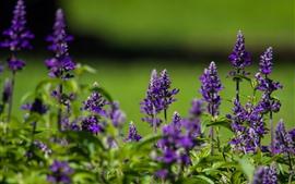 Preview wallpaper Purple flowers, wildflowers, green background
