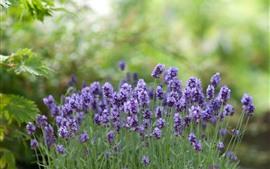 Фиолетовые цветы лаванды, зеленый фон