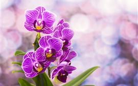 Flowering Phalaenopsis púrpura, fondo nebuloso