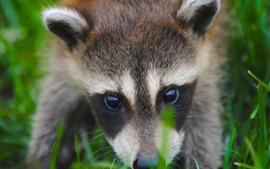 Raccoon, face, eyes, cute animal