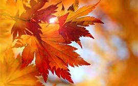 Некоторые красные кленовые листья, солнечные лучи, блики, осень