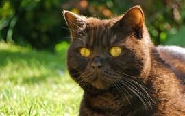 Томат, кошка, желтые глаза, лицо, уши