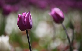 Preview wallpaper Two purple tulips, hazy