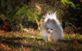Белая собака, померанская, трава, осень