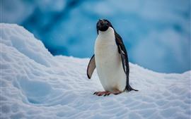 壁紙のプレビュー アデリーペンギン、南極、雪