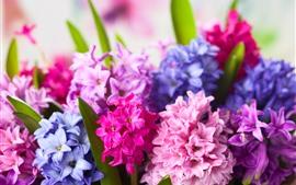 Jacintos de colores, flores rosadas y púrpuras.