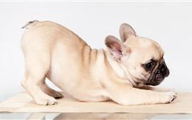 Buldogue francês bonito, cachorrinho