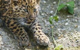 Lindo cachorro leopardo, mirada, ojos, nebuloso