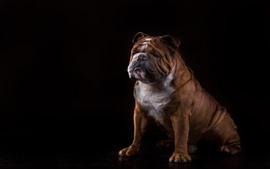 Preview wallpaper English bulldog, dog, black background