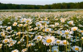 Campo de flores, camomila, verão