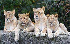 壁紙のプレビュー 4ライオンズ