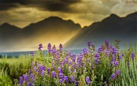 Flores de lavanda, rayos de sol, montañas, niebla, mañana