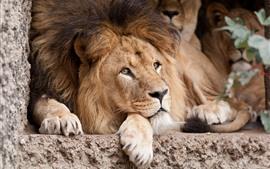 Leão Descanso, Olha, Mane