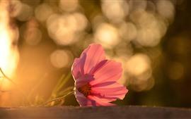 Un primer plano de la flor rosa, pétalos, retroiluminación