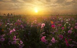 Flores rosadas de Kosmeya, hierba, puesta de sol