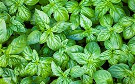 Aperçu fond d'écran Plantes, beaucoup de feuilles vertes
