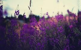 Preview wallpaper Purple flowers, lavender, stem, field