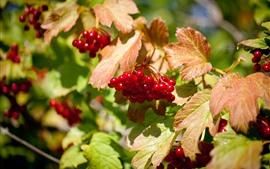 预览壁纸 红色浆果,水果,叶子