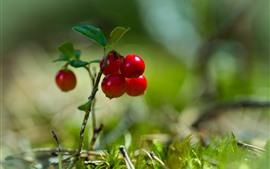Красная клюква, ягоды, веточки, листья