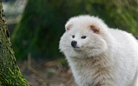 壁紙のプレビュー 白い犬、顔、見て、毛皮のように