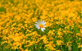 Preview wallpaper Chamomile, one white flower, many yellow flowers