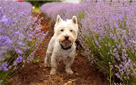 Preview wallpaper Cute dog and purple lavender flowers