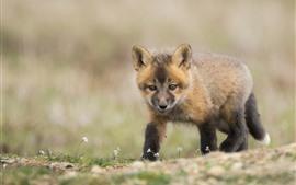 Preview wallpaper Cute fox cub walking