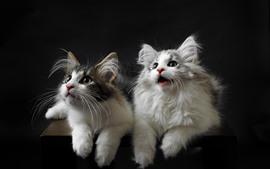 Милые две кошки, лицо, вид, черный фон