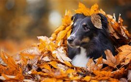 Собака, скрытая в кленовых листьях, осень