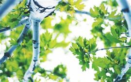Зеленые кленовые листья, дерево, блики