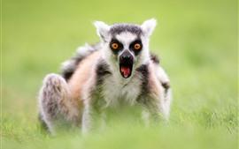 Lemur, vista frontal, ojos, hierba verde, nebuloso