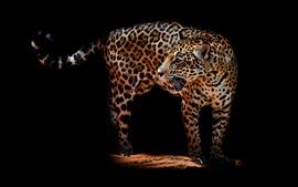 Leopardo, mira hacia atrás, oscuridad, fondo negro