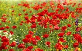 Muitas flores vermelhas de papoula, primavera