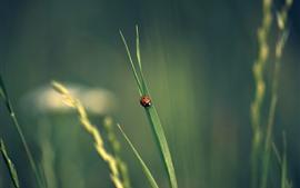Um joaninha, folha de grama verde, inseto