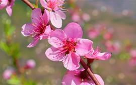 Fleurs de pêche rose fleurir, pétales, printemps, brindilles