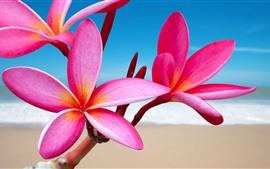 Plumeria rosa, flores, playa, mar