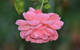 Rosa rosa, pétalos, escarcha, rocío