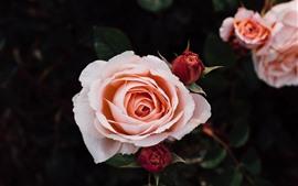 Vorschau des Hintergrundbilder Rosa Rosen, Blütenblätter, Knospen