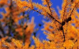 Растения, иглы, осень, веточки