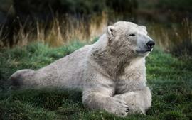 Oso polar, descanso, hierba.