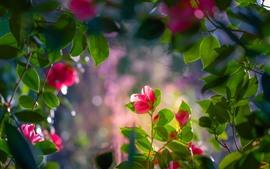 Красная камелия, цветы, листья, веточки