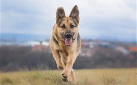 Preview wallpaper Shepherd dog running, front view, grass