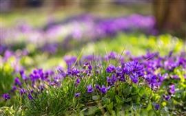 Algunas flores púrpuras, hojas verdes, nebulosos, primavera.