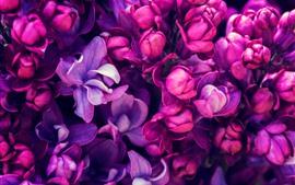 Primavera, flores lilás roxas florescendo