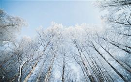 Árboles, abedul, nieve, invierno, cielo