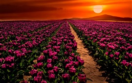 Turquia, campo de tulipas roxo, pôr do sol