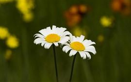 Duas flores de camomila branca