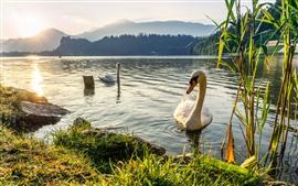 Две белые лебедь, озеро, трава, восход солнца